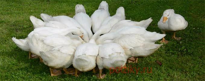 Выращивание Холмогорских гусей в домашних условиях