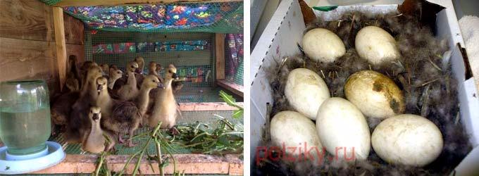 Где продаются яйца Холмогорцев для инкубации и гусята