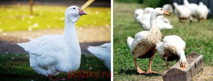 Какие есть рецепты кормов для гусей