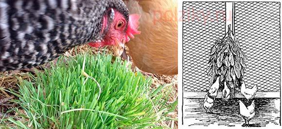 Какой травой можно кормить кур несушек