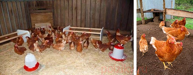 породы домашних кур несушек фото