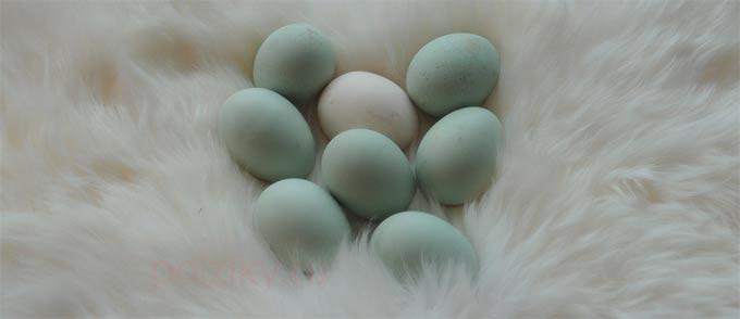 Как выбирать яца Арауканы на инкубацию