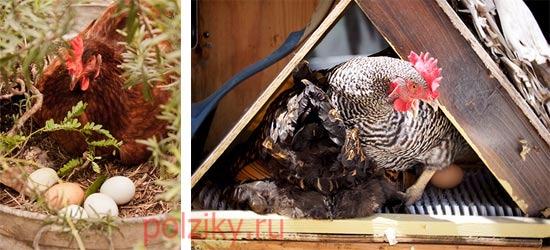 Как выбрать курицу наседку и отобрать яйца