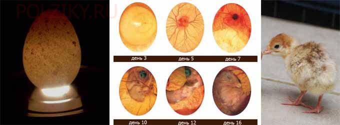 Как выглядят и как хранятся индюшиные яйца для проведения инкубации