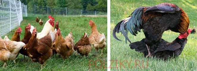Как петух оплодотворяет яйца кур