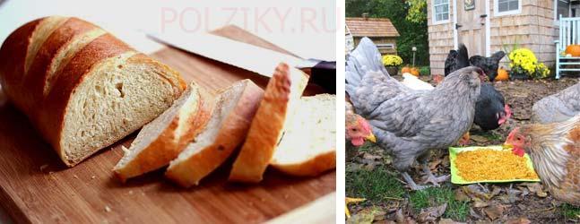 Кормят ли несушек хлебом