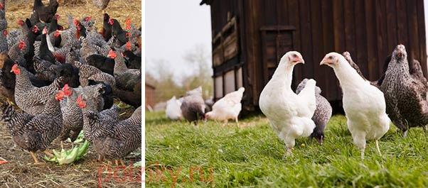 Курицы наседки содержание в домашних условиях