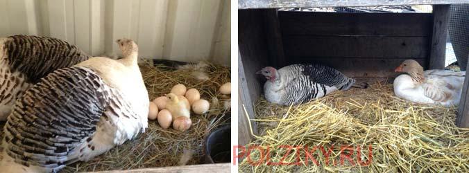Можно ли подкладывать чужие яйца под индюшку