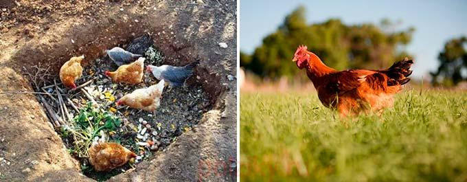 Полезные травы для кур