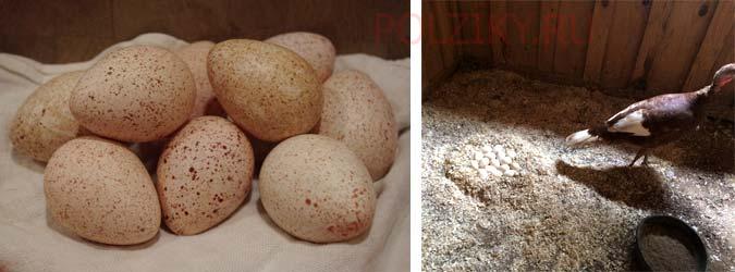 Сколько индюшки несут яйца