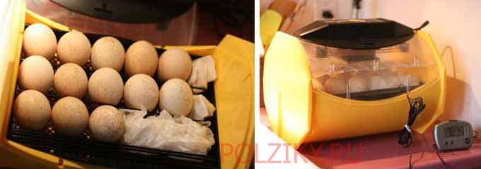Температура инкубации индюшиных яиц
