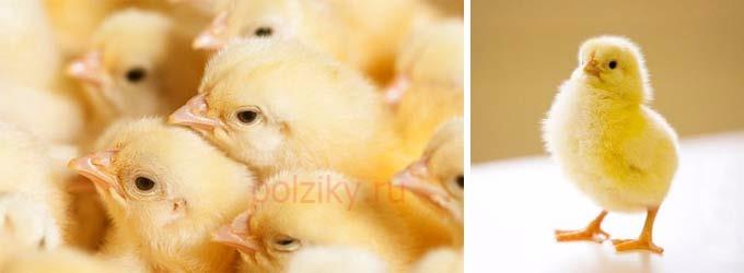 Уход за суточными цыплятами породы Кобб