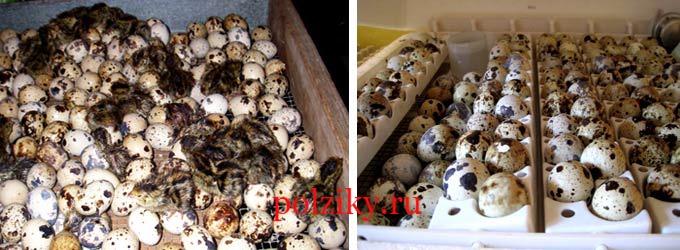 Яйца перепелов для инкубации
