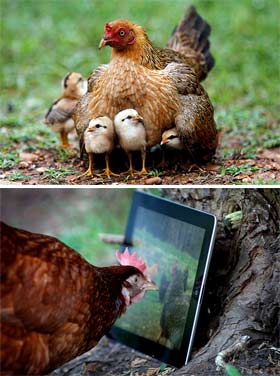 Почему курицы не несут яйца
