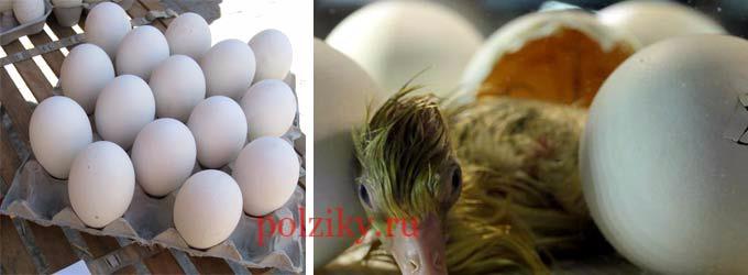 как сохранить гусиные яйца