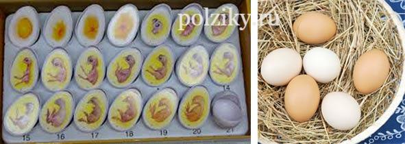 Ошибки инкубации куриных яиц