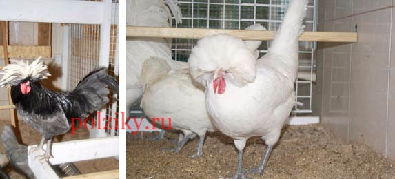 Голландская белохохлая белая и Голландская белохохлая голубая