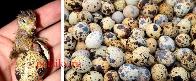 Инкубационные яйца перепела