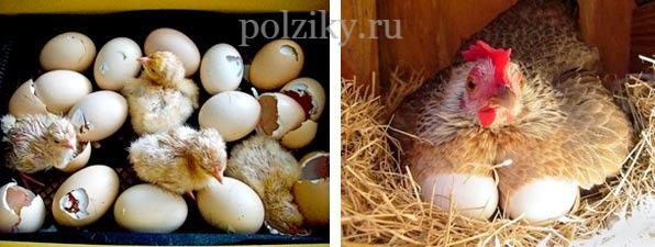 Яйцо инкубационное бройлерное купить