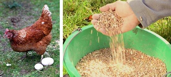 Как выбрать комбикорм для кур несушек