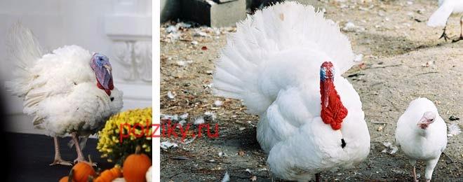 Индюки и яйца Биг 6 — разведение и выращивание в домашних условиях