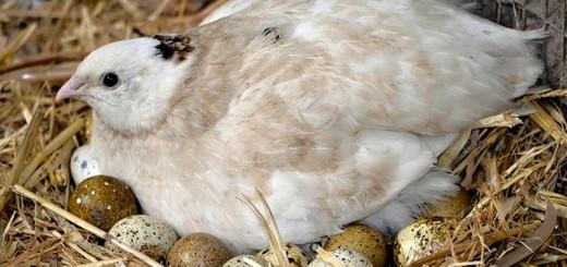 Инкубация перепелиных яиц фото