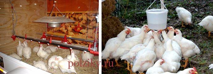 Содержание и уход за цыплятами бройлеров