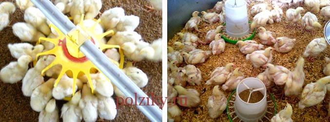 Выращивание цыплят в домашних условиях на мясо