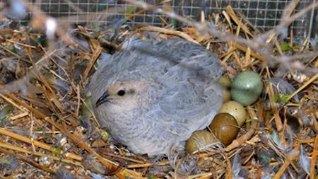 Сколько по времени перепелка высиживает яйца
