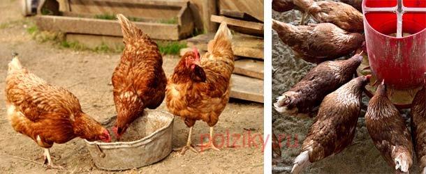 Где купить инкубационное яйцо Ломан Браун — особенности породы
