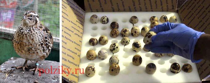 Как отбирают перепелок птиц и яйца для инкубации