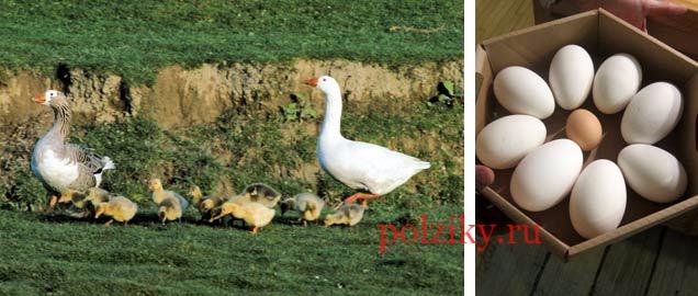 Как хранить гусиные яйца — советы и ответы