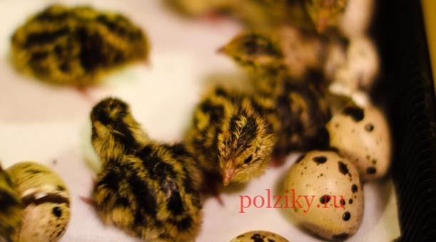 Инкубационные яйца перепелов – как отбирают на перепелиной ферме