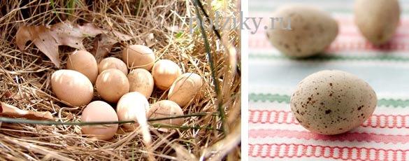 Полезные свойства яиц цесарки