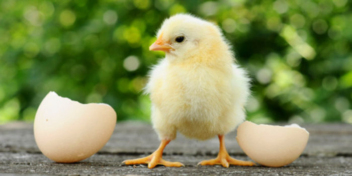 Инкубация куриных яиц — режим