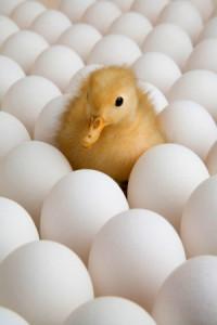 Сколько утка сидит на яйцах