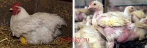 корма для птенцов бролеров