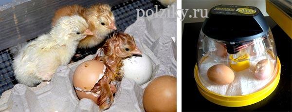 Температура инкубации куриных яиц