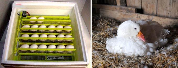 Сроки инкубации гусиных яиц в домашних условиях таблица
