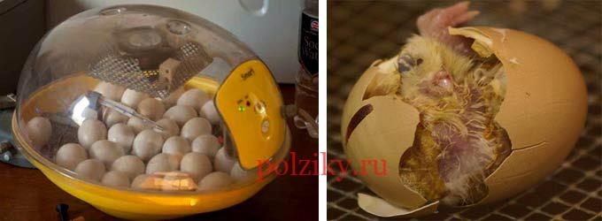 Продам инкубационное яйцо кур