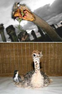 Содержание страусов в домашних условиях для начинающих