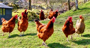 Поэтапное рисование курицы и петуха