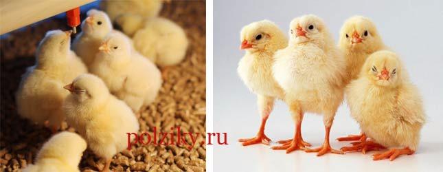 Купить цыплят бройлеров оптом