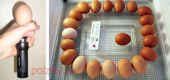 Овоскопирование куриных яиц на 18 день