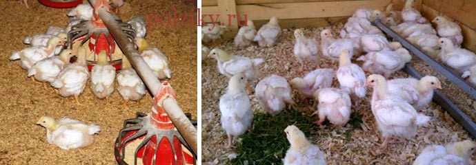 Условия выращивания бройлеров кур