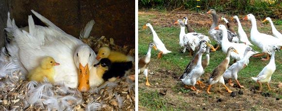 Выращивание птенцов уток в домашних условиях
