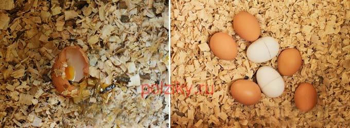 Что делать, как отучить, если курицы клюют свои яйца
