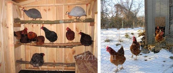 Разведение цыплят в домашних условиях для начинающих