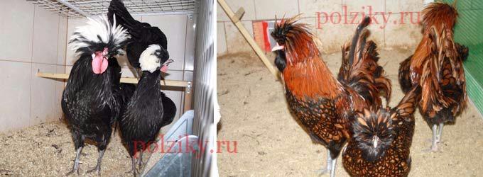 Голландская белохохлая черная и Падуан коричневый черно-окаймленный