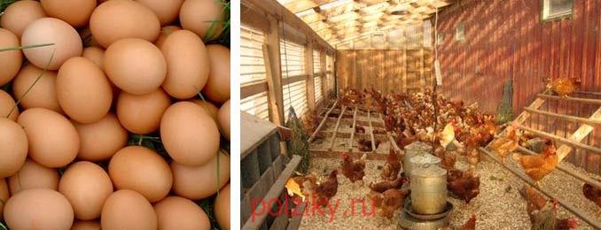 Инкубационные яйца куриц Ломан Браун